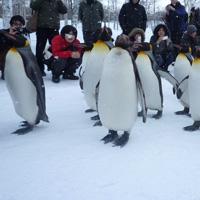 ペンギンの散歩