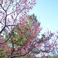 八芳園の梅